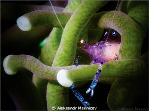 Glass anemone shrimp by Aleksandr Marinicev 